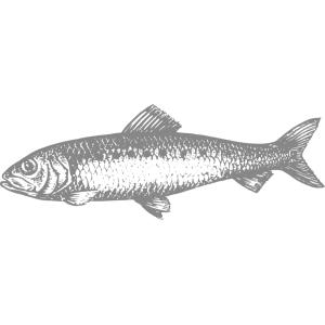 <h3>Sardina</h3> È un piccolo pesce, ma il suo sapore parla da solo.